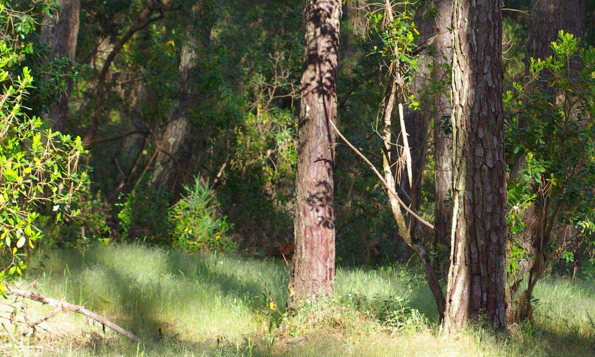 les pins et l'herbe douce