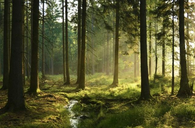lumière dans une forêt de conifères. Marcher dans la forêt